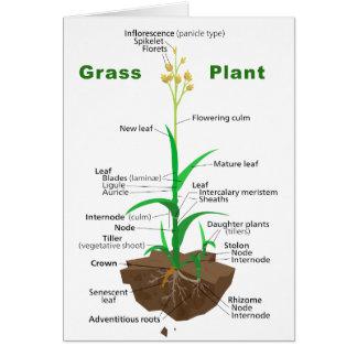 Diagrama de la planta de Graminoids de la hierba Tarjetón