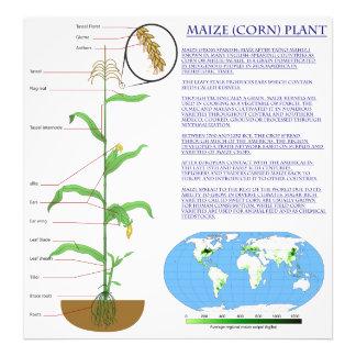 Diagrama de la planta de maíz del maíz fotografias