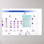 Diagrama de las células madres de la hematopoyesis posters