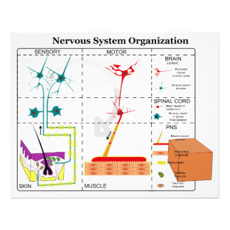 Diagrama de las funciones de sistema nervioso bási fotografias