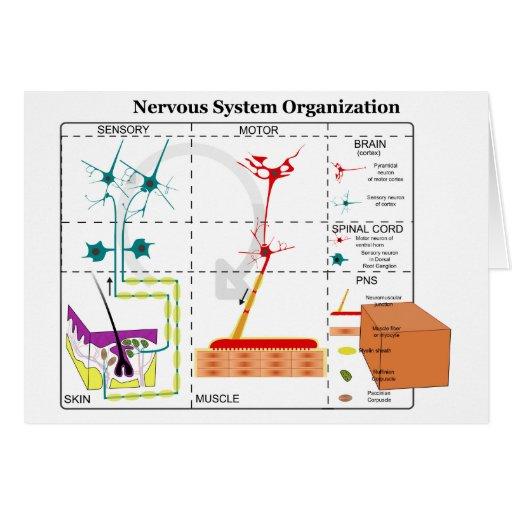 Diagrama de las funciones de sistema nervioso bási tarjetas