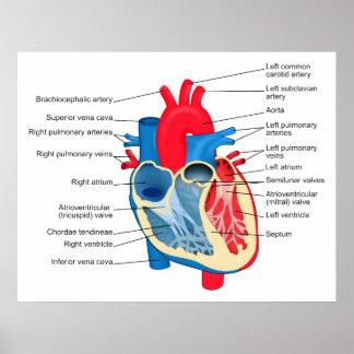 Diagrama de las partes individuales del corazón hu póster