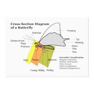 Diagrama de los lepidópteros del campo común de un impresión en lienzo estirada
