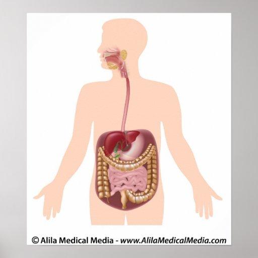 Diagrama de sistema digestivo impresiones