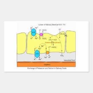 Diagrama del conducto de la secreción de la pegatina rectangular
