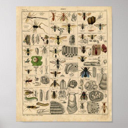 Diagrama del insecto del vintage poster