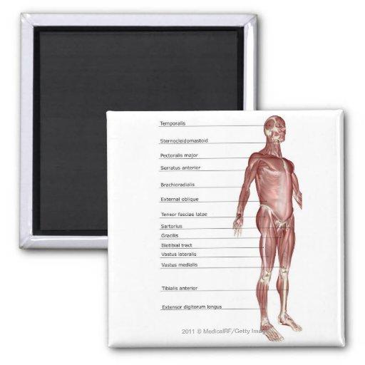 Diagrama del sistema muscular imán cuadrado