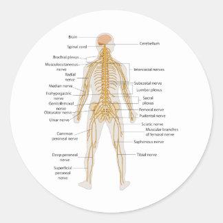 Diagrama del sistema nervioso del cuerpo humano pegatina redonda