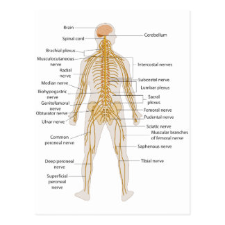 Diagrama del sistema nervioso del cuerpo humano tarjeta postal