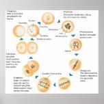 Diagrama esquemático de la mitosis celular poster