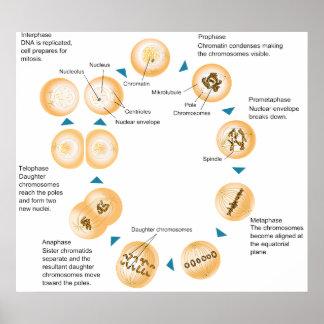 Diagrama esquemático de la mitosis celular póster