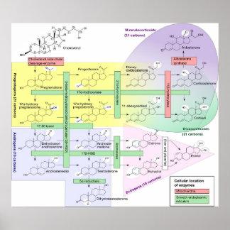 Diagrama químico biológico de Steroidogenesis Póster