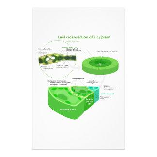 Diagrama simplificado de la fotosíntesis C4 Papelería