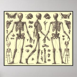 Diagramas del esqueleto del vintage poster