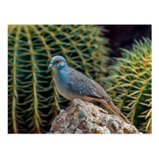 Diamond dove ( Geopelia Cuneata ) Postcard