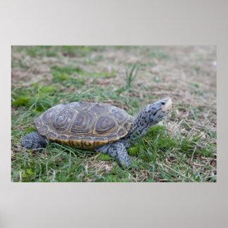 diamondback terrapin turtle poster print
