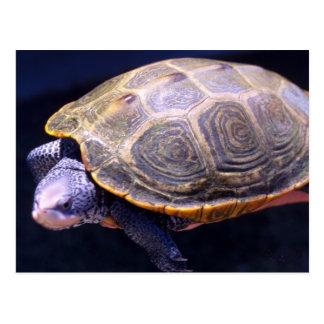 Diamondback Turtle Postcard