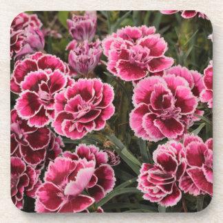Dianthus Coaster