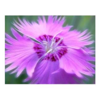 Dianthus gratianopolitanus - Cheddar Pink Postcard