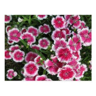 Dianthus Pink White Postcard