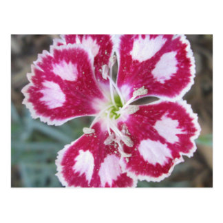 Dianthus Red White Flower Postcard