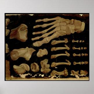 Dibujo anatómico de los huesos del pie posters