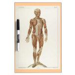 Dibujo anterior del vintage de la anatomía pizarra blanca