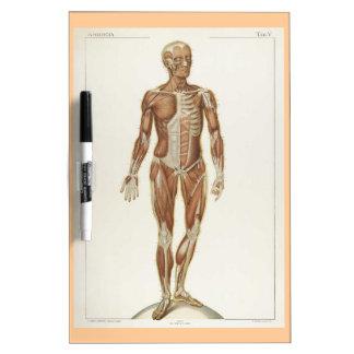 Dibujo anterior del vintage de la anatomía pizarra