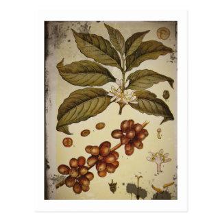 Dibujo botánico de la planta del café tarjeta postal