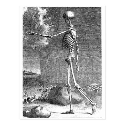 Dibujo de la anatomía del vintage, vista lateral,  postales