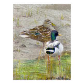 Dibujo de lápiz coloreado pato del pato silvestre tarjetas postales