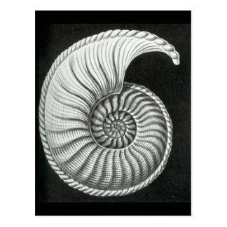 Dibujo de lápiz hermoso de la amonita de Amaltheus Tarjetas Postales