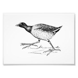 Dibujo del pájaro de Gallinule Fotografía