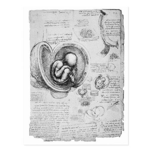 Dibujo del vintage de un feto en el útero 1 postal