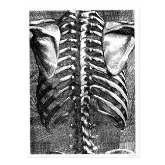 Dibujo del vintage de una espina dorsal y de un postales