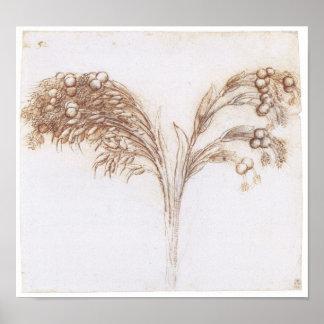 Dibujo detallado de la planta provenida larga, da  póster