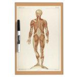 Dibujo posterior del vintage de la anatomía pizarras blancas