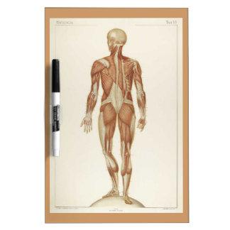 Dibujo posterior del vintage de la anatomía pizarra