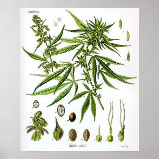 Dibujo Sativa de la botánica del vintage de la pla Póster