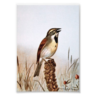 Dickcissel Bird Illustration Photo Art