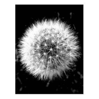 Diente de león blanco y negro tarjetas postales