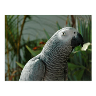 Dignified African Grey Parrot Postcard