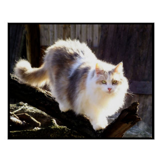 Dilute Calico Maine Coon Cat Poster