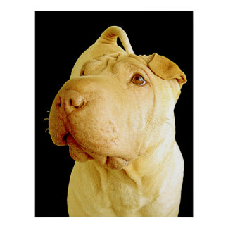 Dilute Chinese Shar Pei Puppy Dog Poster