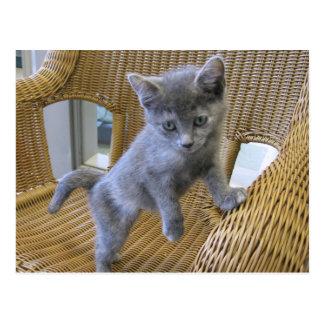 Dilute Tortoiseshell Kitten Postcard