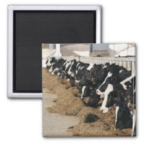 Diminishing Perspective of Cow's Heads Grazing Magnet