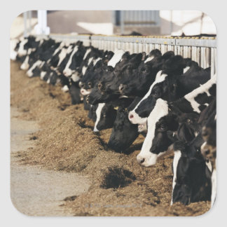 Diminishing Perspective of Cow's Heads Grazing Square Sticker