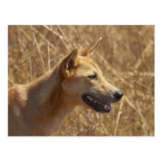 Dingo (Canis lupus dingo) Postcard