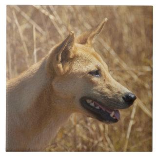 Dingo (dingo del lupus de Canis) Azulejo Cuadrado Grande