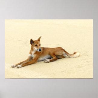 Dingo en el salvaje posters